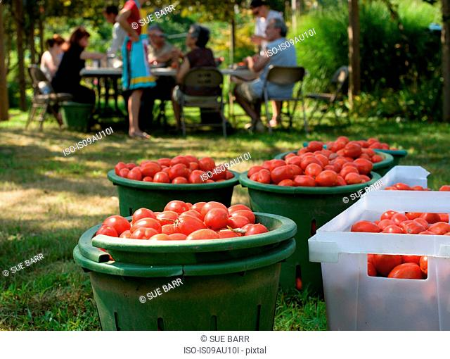 Family harvesting tomatoes into containers