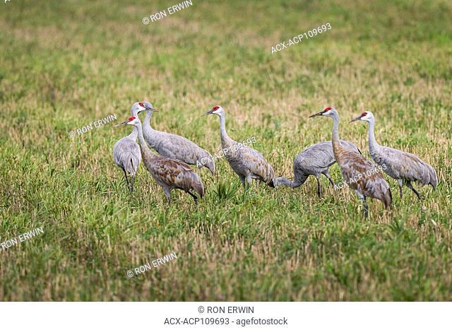 Sandhill Crane Flock (Antigone canadensis), Manitoulin Island, Ontario