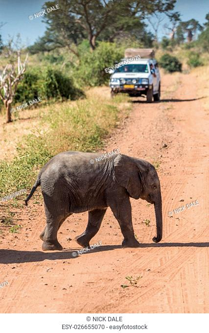 Baby elephant crossing dirt track before jeep
