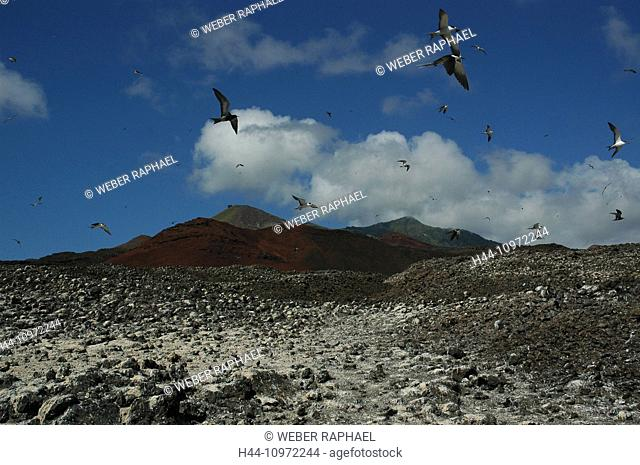 Ascension, Ascension Island, sooty tern, Onychoprion fuscatus, birds, colony, hotbed, fly, mountains, clouds