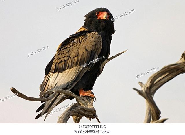 Bataleur eagle, close-up
