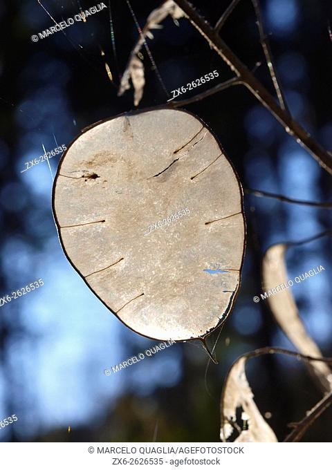 Translucence seedpods of Annual Honesty (Lunaria annua). Montseny Natural Park. Barcelona province, Catalonia, Spain