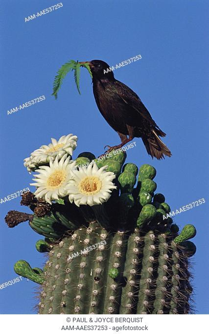 Red Winged Blackbird on Saguaro Cactus (Agelaius phoeniceus)
