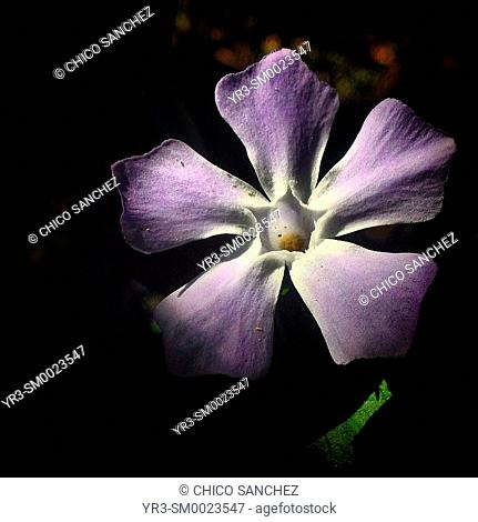 A purple flower with five petals an a five pointed star in Prado del Rey, Sierra de Grazalema, Andalusia, Spain