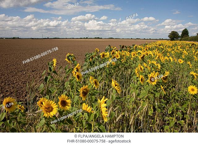 Sunflower (Helianthus annuus) flowering mass, growing in arable field margin, Barrow upon Humber, Lincolnshire, England, August