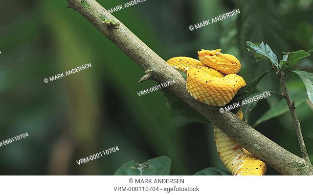 yellow eyelash pit viper in a tree branch striking