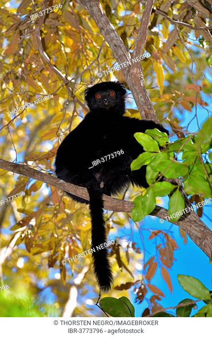 Perrier's sifaka (Propithecus perrieri), endangered species, Analamerana Reserve, Madagascar