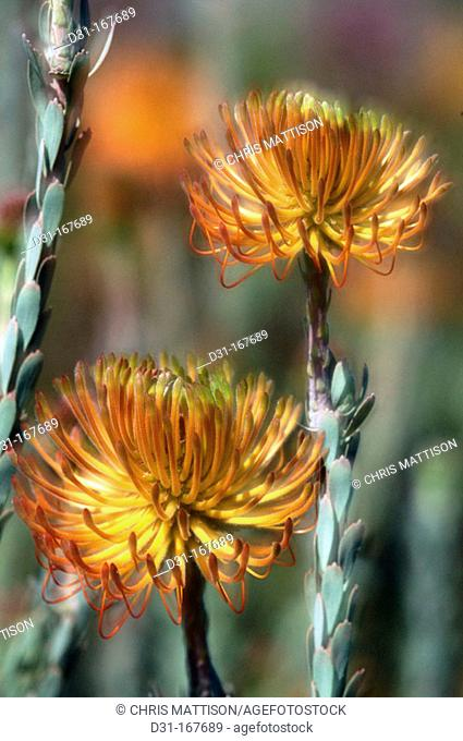 Rocket Pincushion Protea (Leucospermum reflexum). South Africa