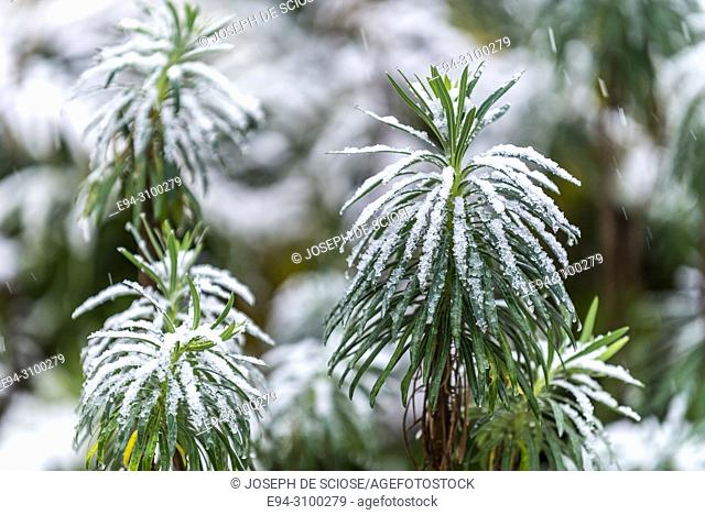 A dusting of snow on the leaves of a Euphorbia plant in a garden, Birmingham, Alabama, USA