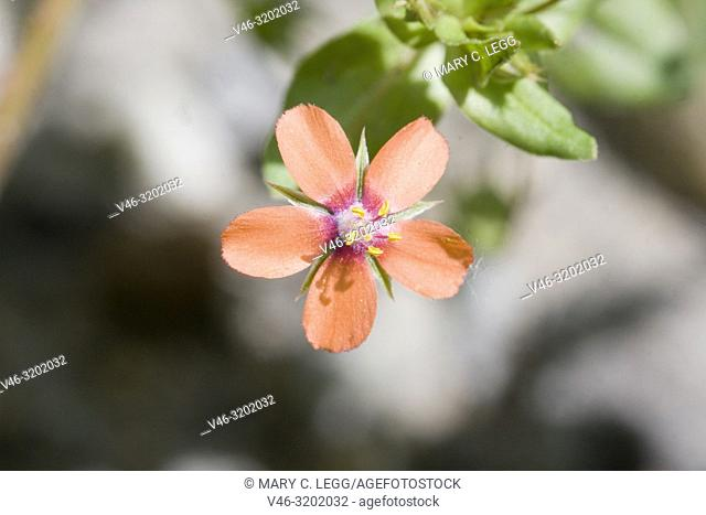 Scarlet Pimpernel, Anagallis arvensis. Small low-growing flower with five petals belonging to primrose family. Flowers can be orange, red or blue