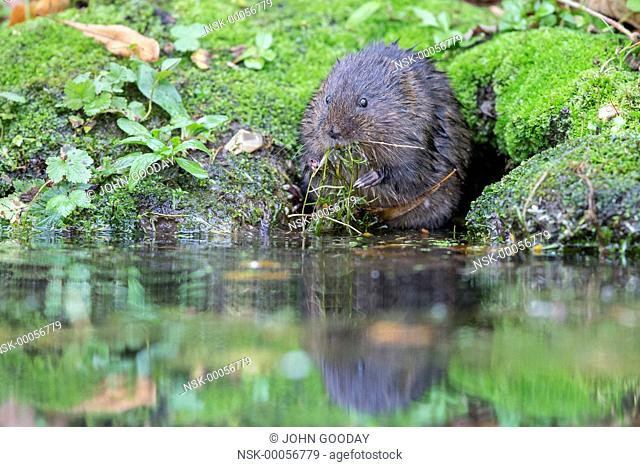 Eurasian Water Vole (Arvicola amphibius) feeding in a stream, England, West Sussex