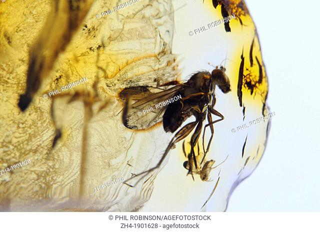 Prehistoric Fly in Amber  40-50m years old