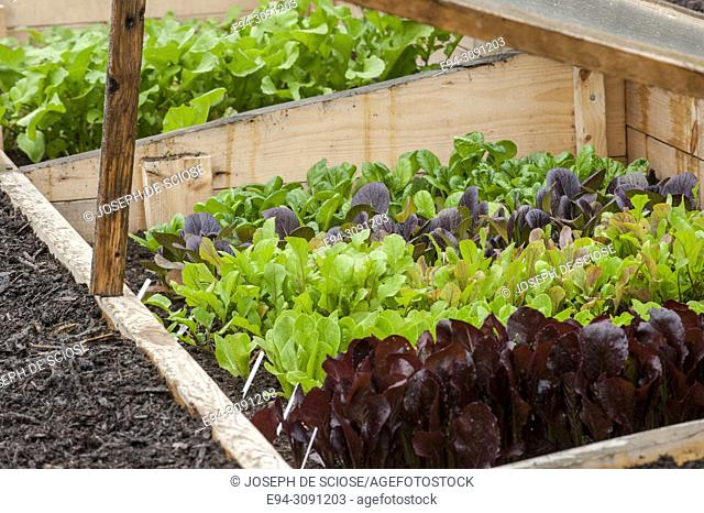 Multiple varieties of lettuce growing in a cold frame