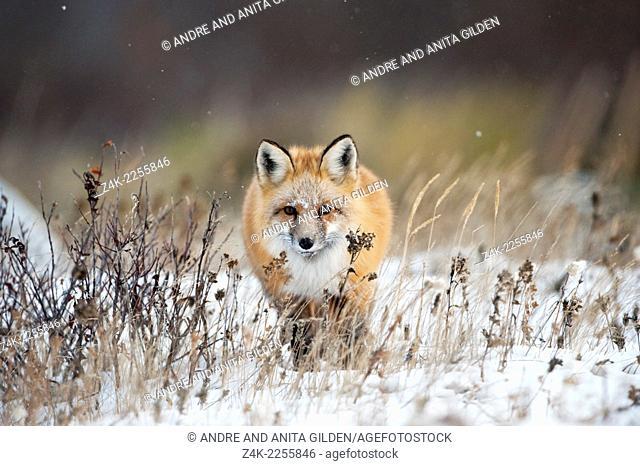"""Red fox (Vulpes vulpes) walking towards in snow, Churchill, Canada. Winner """"""""arret sur Image"""""""" festival Montier-en-Der, 2010"""