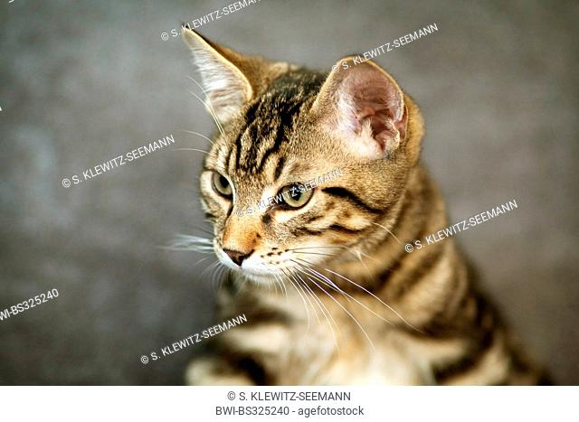 domestic cat, house cat (Felis silvestris f. catus), portrait, mix of Norwegian forest cat and house cat, Germany