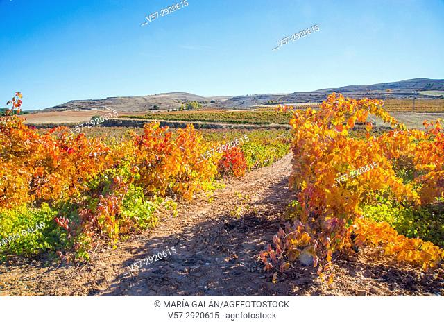 Vineyards in Autumn. Ribera del Duero, Burgos province, Castilla Leon, Spain