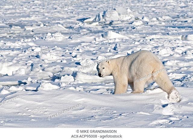 Polar bear Ursus maritimus on frozen tundra, Churchill, Manitoba, Canada