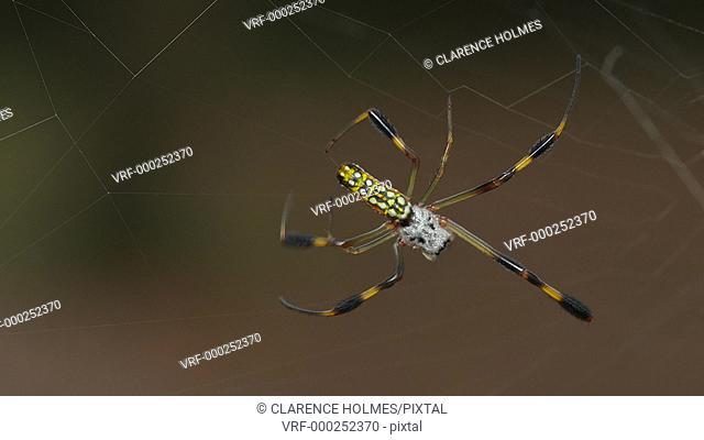 An immature female Golden Silk Orbweaver (Nephila clavipes) spins her web