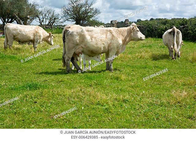 Charolais cattle are a beef breed of cattle, Bos taurus, which originated in Charolais, around Charolles, in France