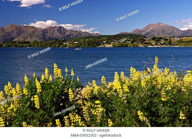 New Zealand, South-island, Central Otago, lake Wanaka, shores, yellow lupines, Lupinus luteus, fuzziness, landscape, view, lake, Wannake-Lake, water, mountains