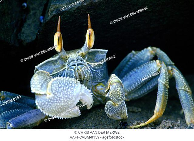 Ghost Crab, Eastern Cape, South Africa