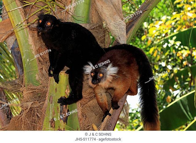 Black Lemur, Eulemur macaco, Nosy Komba, Madagascar, Africa, adult couple