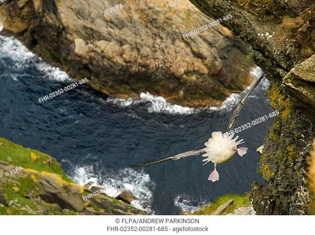 Northern Fulmar Fulmaris glacialis adult, in flight, view down precipitous cliff towards sea, Shetland Islands, Scotland, july