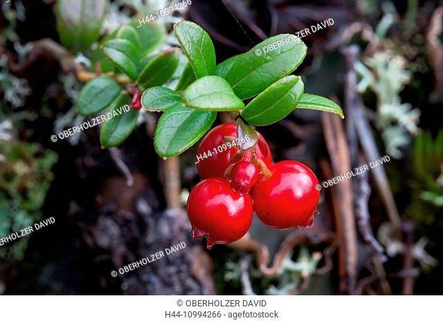 Berries, Europe, Finland, autumn, autumn colors, Lapland, plants, Scandinavia