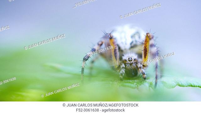 Spider, Néouvielle Nature Reserve, Vallée d'Aure, L'Occitanie, Hautes-Pyrénées, France, Europe