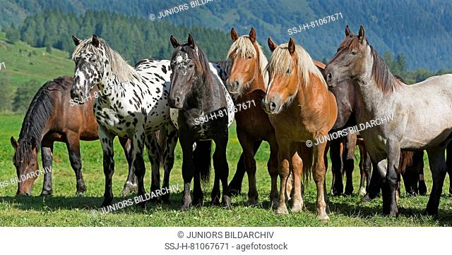 Noriker Horse. Herd of juveniles (2 years old) standing on an alpine meadow. Austria