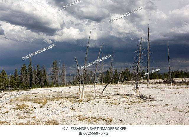 Dead trees, West Thumb Geyser Basin, Yellowstone National Park, Wyoming, USA
