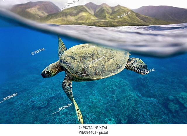 Green sea turtle Chelonia mydas off Olowalu Reef on the west side of the island of Maui, Hawaii, USA
