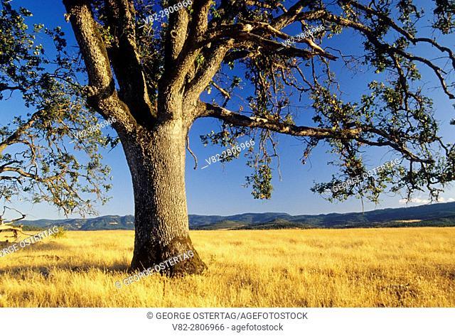 Oak, Rogue-Umpqua National Scenic Byway, Jackson County, Oregon