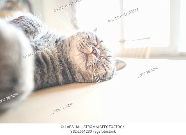 British shorthair cat lying on kitchen table sleeping