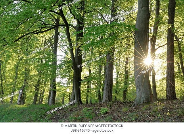 Spring forest with sun in backlight, lens flare. Mecklenburg-Western Pomerania, Germany