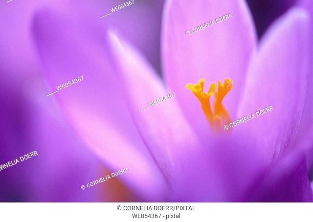 Crocus blossoms (Crocus napolitanus). Husum, Schleswig-Holstein, Germany