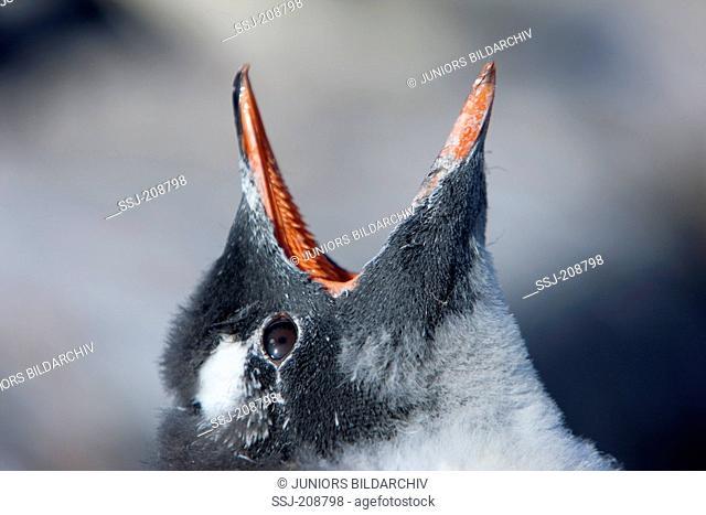 Gentoo Penguin (Pygoscelis papua). Portrait of a chick with wide open bill. Antarctica. No exclusive sales !