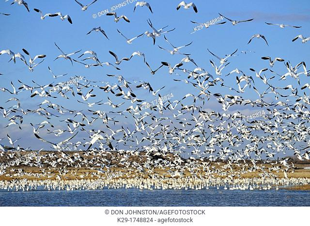 Snow Goose Chen caerulescens Flock taking flight from pond , Bosque del Apache NWR, New Mexico, USA