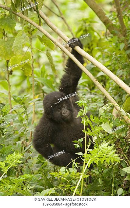 Mountain gorilla (Gorilla gorilla beringei)