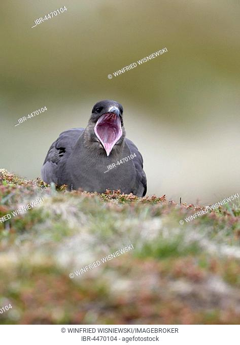 Long-tailed skua or long-tailed jaeger (Stercorarius parasiticus) with open beak, tundra, Norway