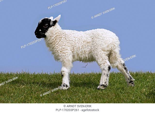 Black and white domestic sheep lamb in meadow, North Frisia, Schleswig-Holstein, Germany