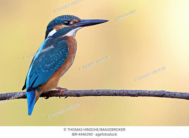 Common kingfisher, also Eurasian or river kingfisher (Alcedo atthis) on branch, Middle Elbe Biosphere Reserve, Saxony-Anhalt, Germany