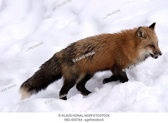 Red Fox (Vulpes vulpes) with prey