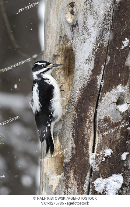 Hairy woodpecker ( Picoides villosus ) in winter, female adult sitting at a snow dead tree, searching for food, side view, Yellowstone NP, USA