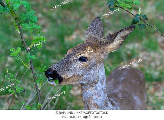 Roe Deer, Capreolus capreolus, Portrait, Springtime, Germany, Europe