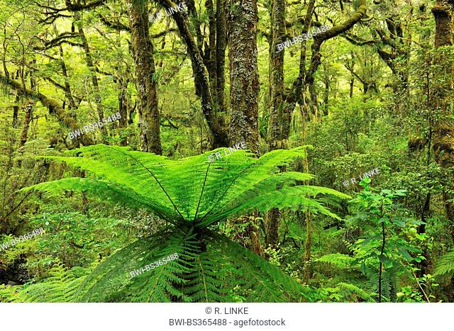 Tree Fern in Temperate Rain Forest, New Zealand, Southern Island, Fjordland National Park, Milford Sound
