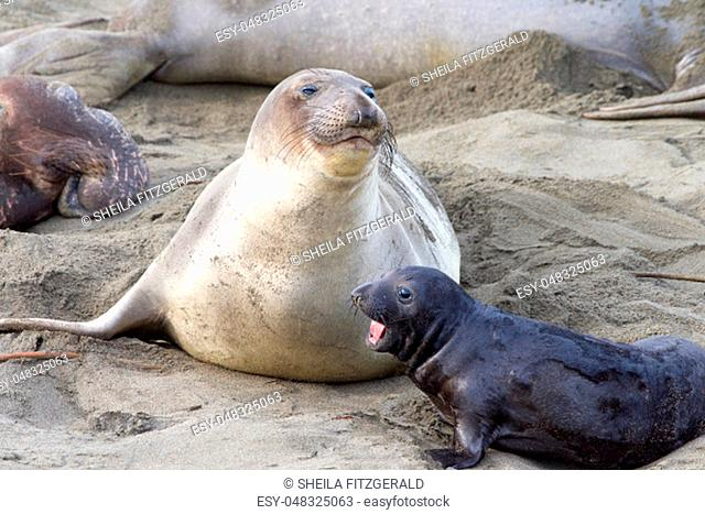 elephant seal pup next to mom. The mothers will fast and nurse up to 28 days, providing their pups with rich milk. Pups weigh 75 pounds at birth and gain approx...