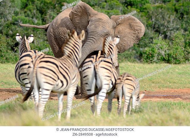 African bush elephant (Loxodonta africana), bull at waterhole scaring herd of Burchell's zebras (Equus quagga burchellii), Addo Elephant National Park