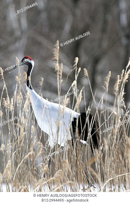 Japanese crane, Red-crowned crane (Grus japonensis), Japan