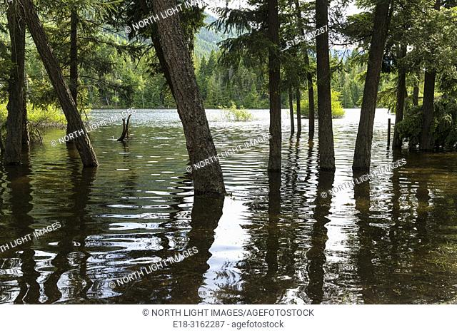 Canada, BC, Salmon Arm. Skimikin Lake. Forest trees covered in water, due to flooding